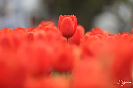 tulip2016a_20160410_0001.jpg