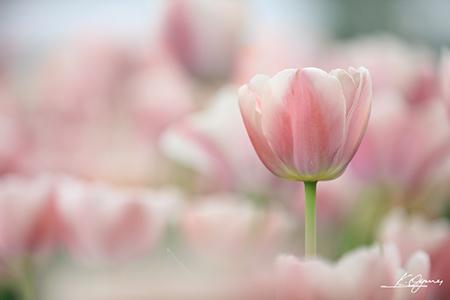 tulip2016a_20160410_0003.jpg