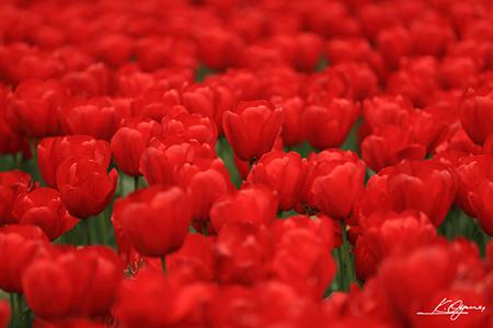 tulip2016a_20160410_0005.jpg