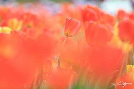 tulip2016a_20160410_0007.jpg